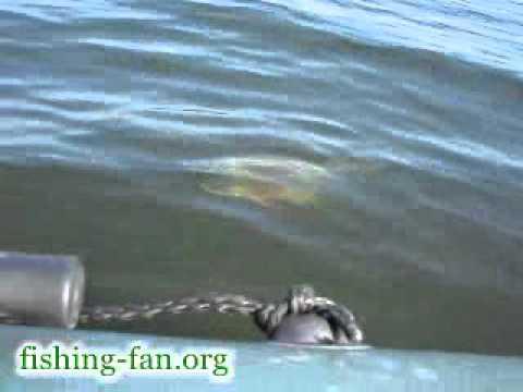 ловля на открытой воде толстолобик